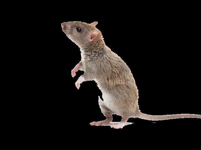 Ratten Schädlingsbekämpfung Gevelsberg Hagen Ennepetal